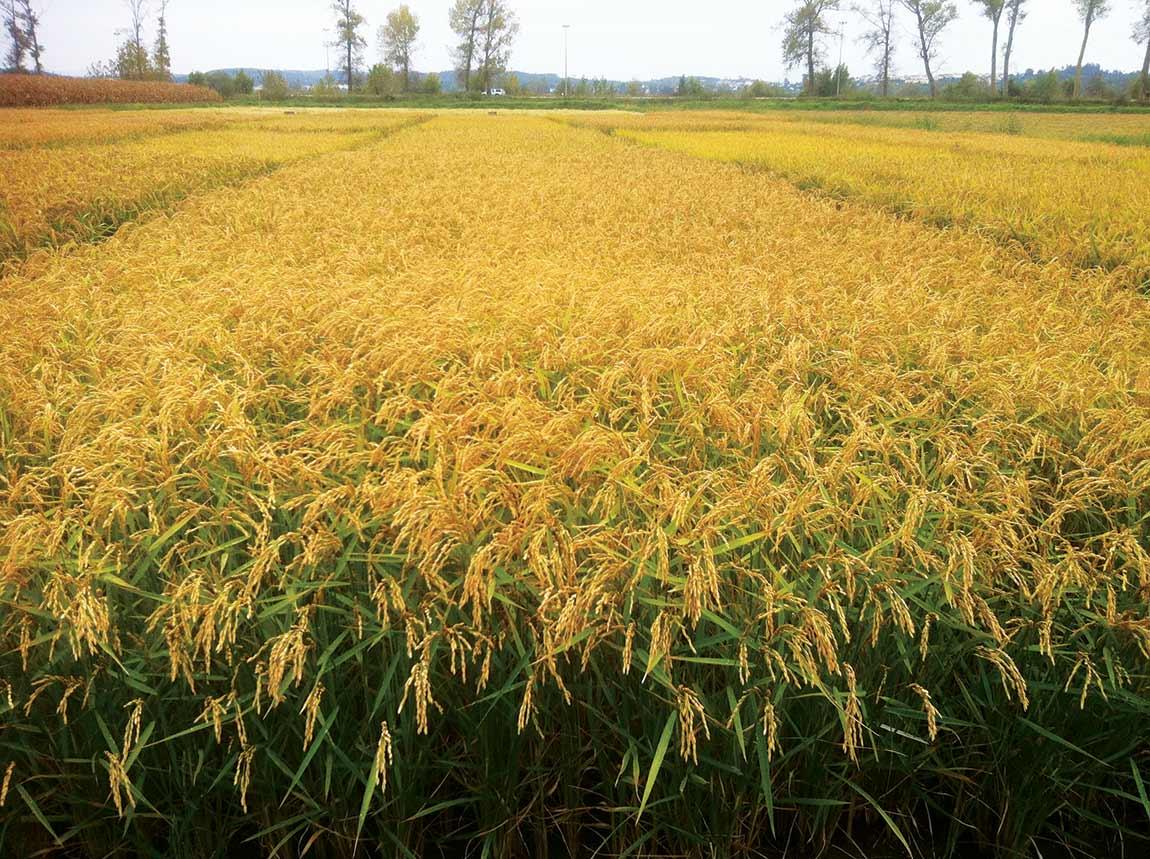 Campo de arroz Carolino da variedade Ceres