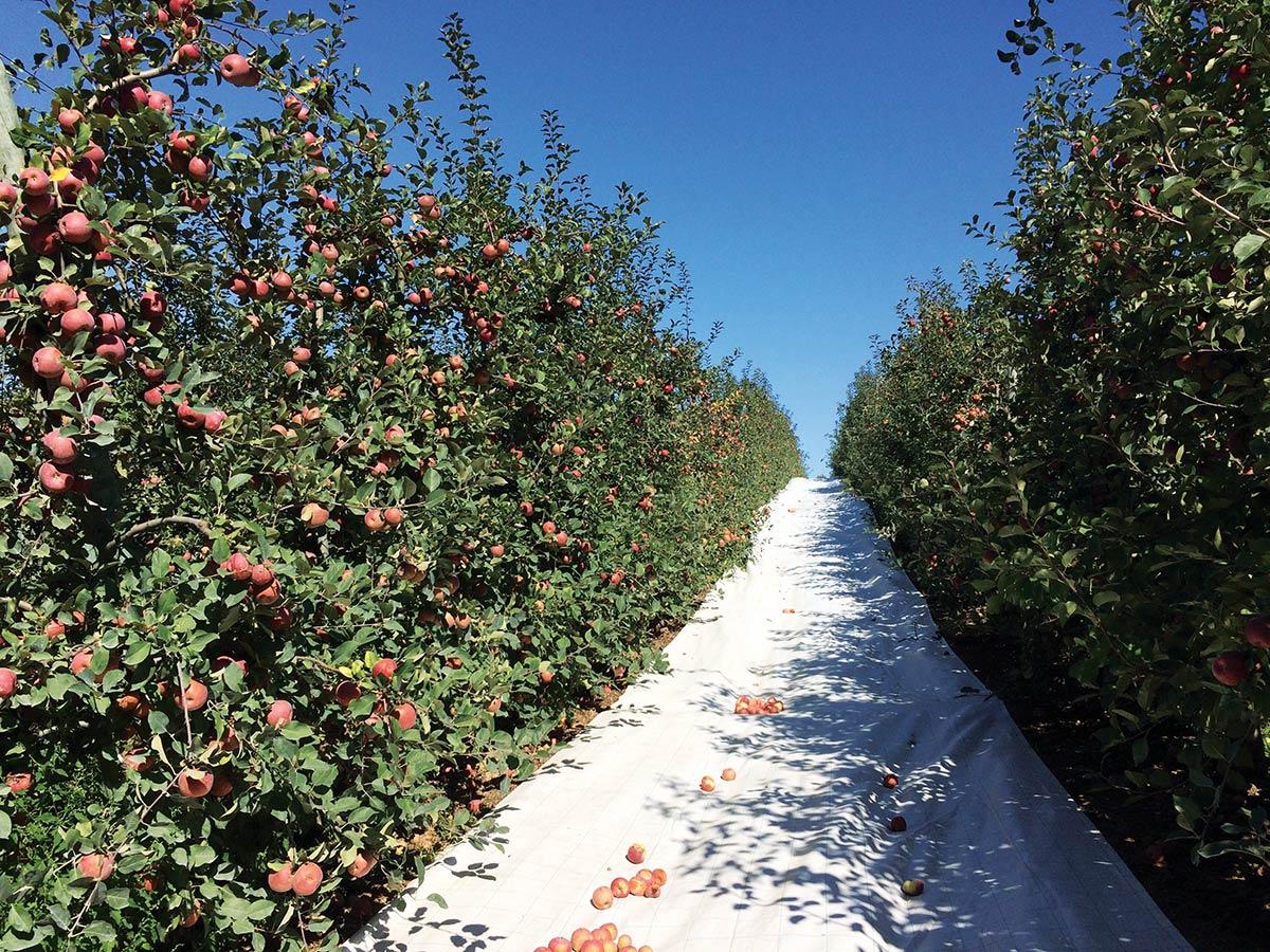 Ensaio com filmes refletivos para aumento da coloração das maçãs a decorrer no âmbito de  um protocolo experimental