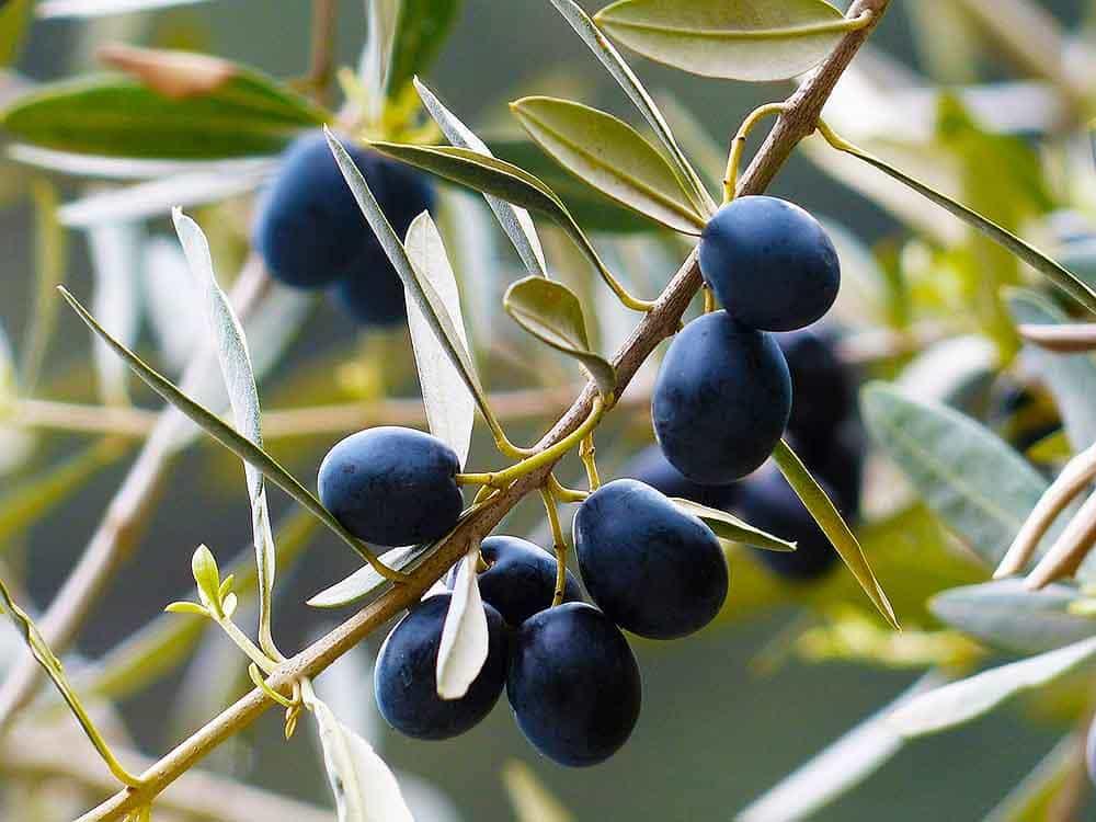 Olho-de-pavão no olival