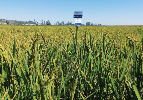 Campo demo de arroz com variedade Ariete