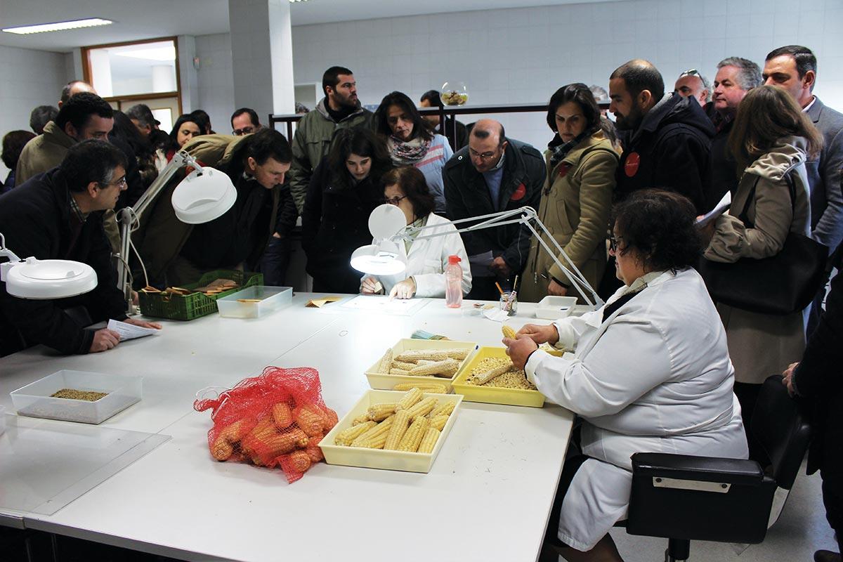 Amostras de variedades tradicionais de milho conservadas no Banco Português de Germoplasma Vegetal