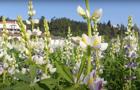 Lusosem® | LIBBIO - Melhoramento do tremoço dos Andes (Lupinus mutabilis)