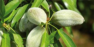 Fungicida Sistémico INDAR 5 EW, uma solução à medida para controlo da Moniliose em Amendoeira