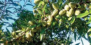 Fungicida Sistémico INDAR 5 EW obtém novos registros para Olival e Amendoeira