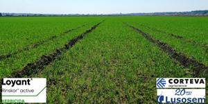 Loyant - O novo herbicida para a cultura do arroz obtém registo definitivo