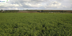 Lusosem e Egocultum firmam parceria para desenvolver produção nacional de grão-de-bico