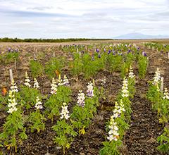 Ensaios de Lupinus mutabilis em terras marginais